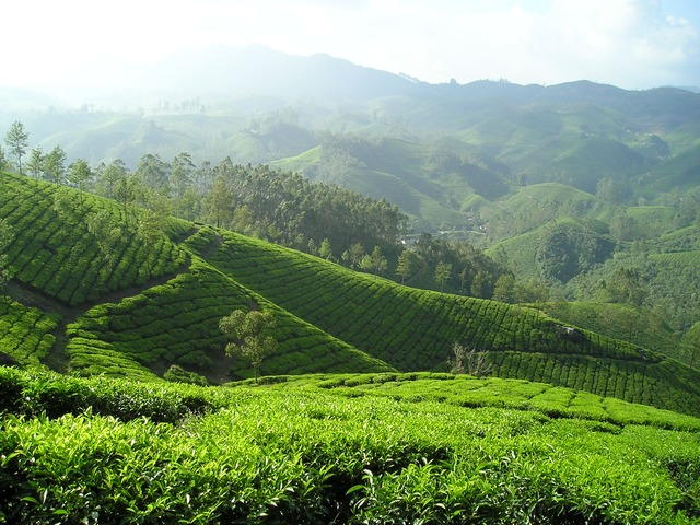 indické čajové plantáže